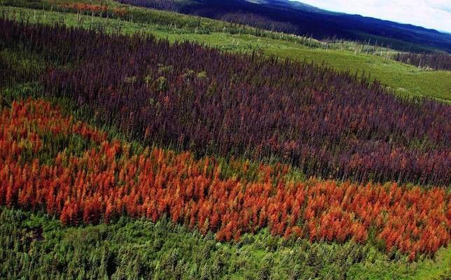 beetle-killed trees
