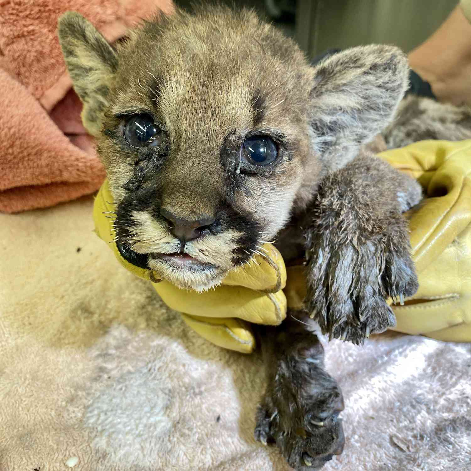 Mountain lion cub being treated for burns