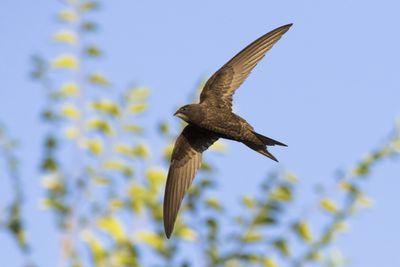 common swift in flight