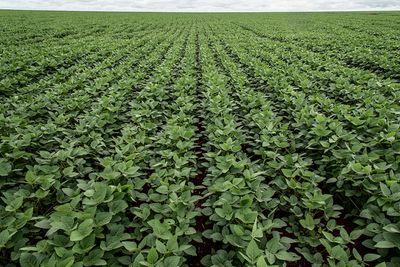 Unending rows of soy crops in a field in Brazil.