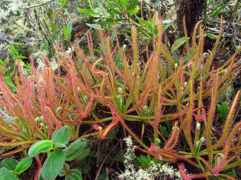 Nuevas especies de plantas carnívoras encontradas en Facebook