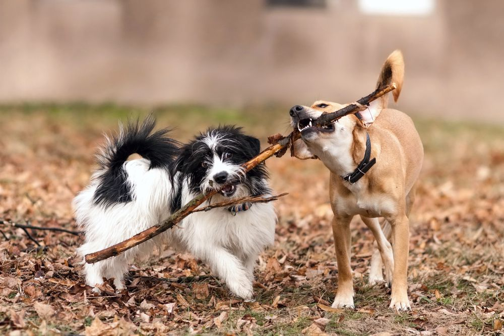 two dogs with a stick