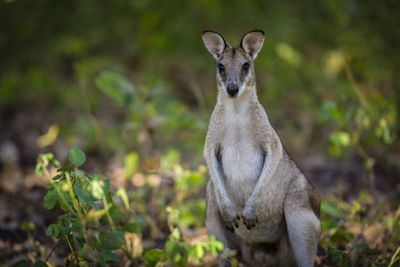 front view of wallaby standing on ground with ears perked