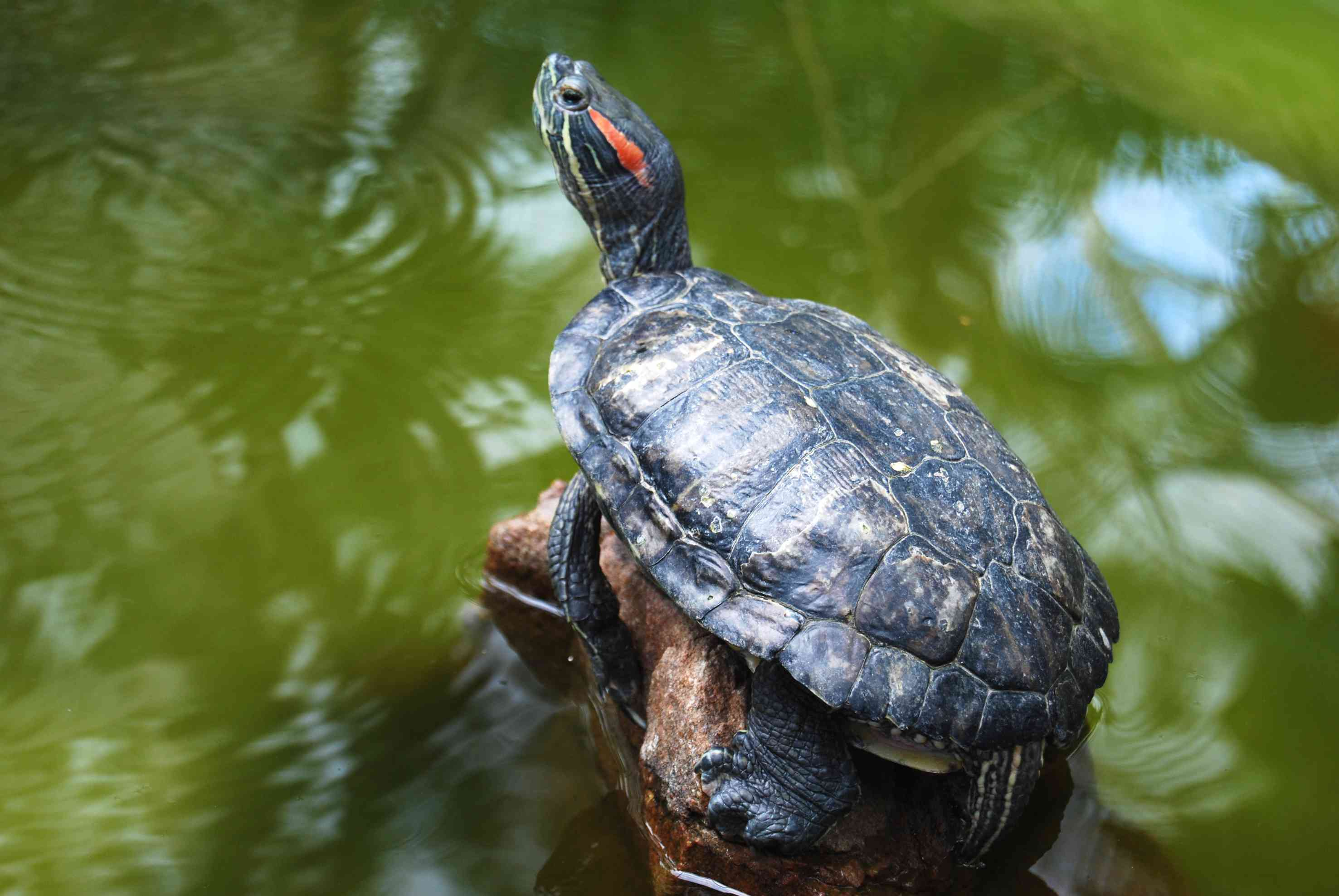 red-eared slider turtle perches on log above water