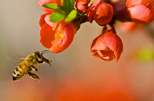 Bees pollinating flowers photo