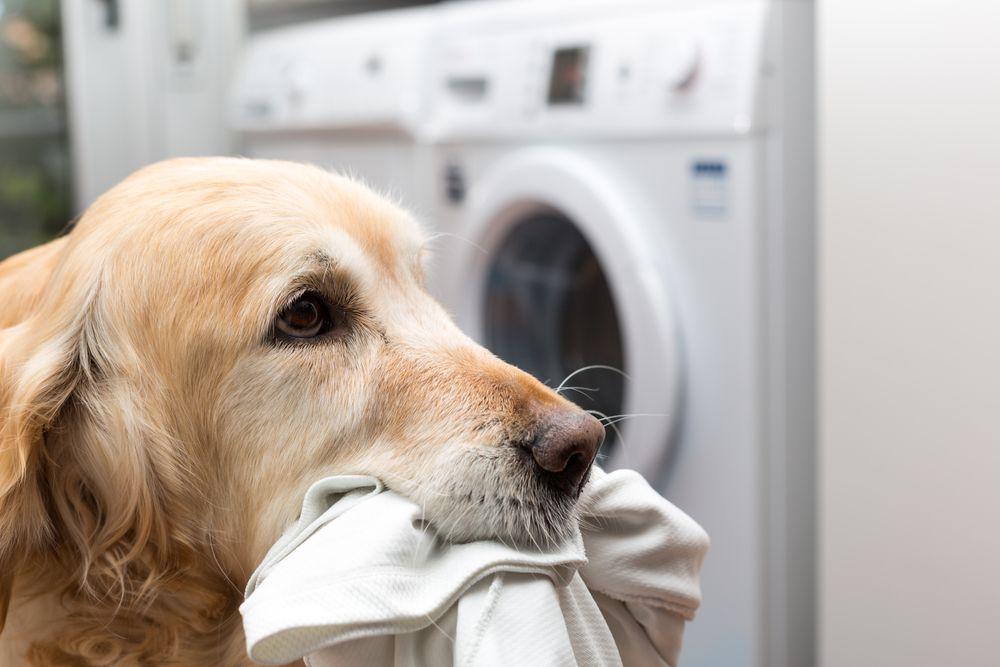 golden retriever dog with laundry