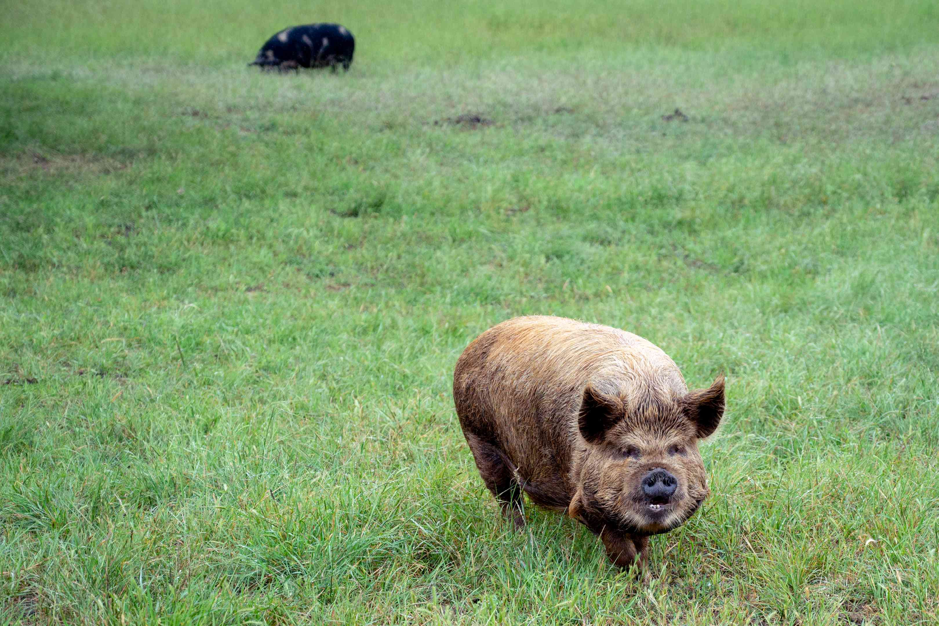large scruffy brown pig waddles through open grass field with black pig in background