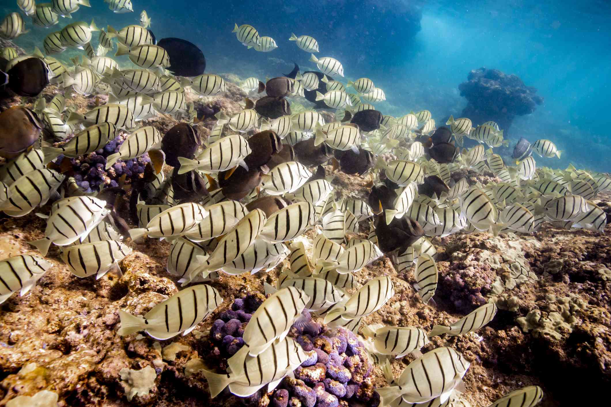 school of striped fish swimming along a coral reef in Oahu, Hawaii