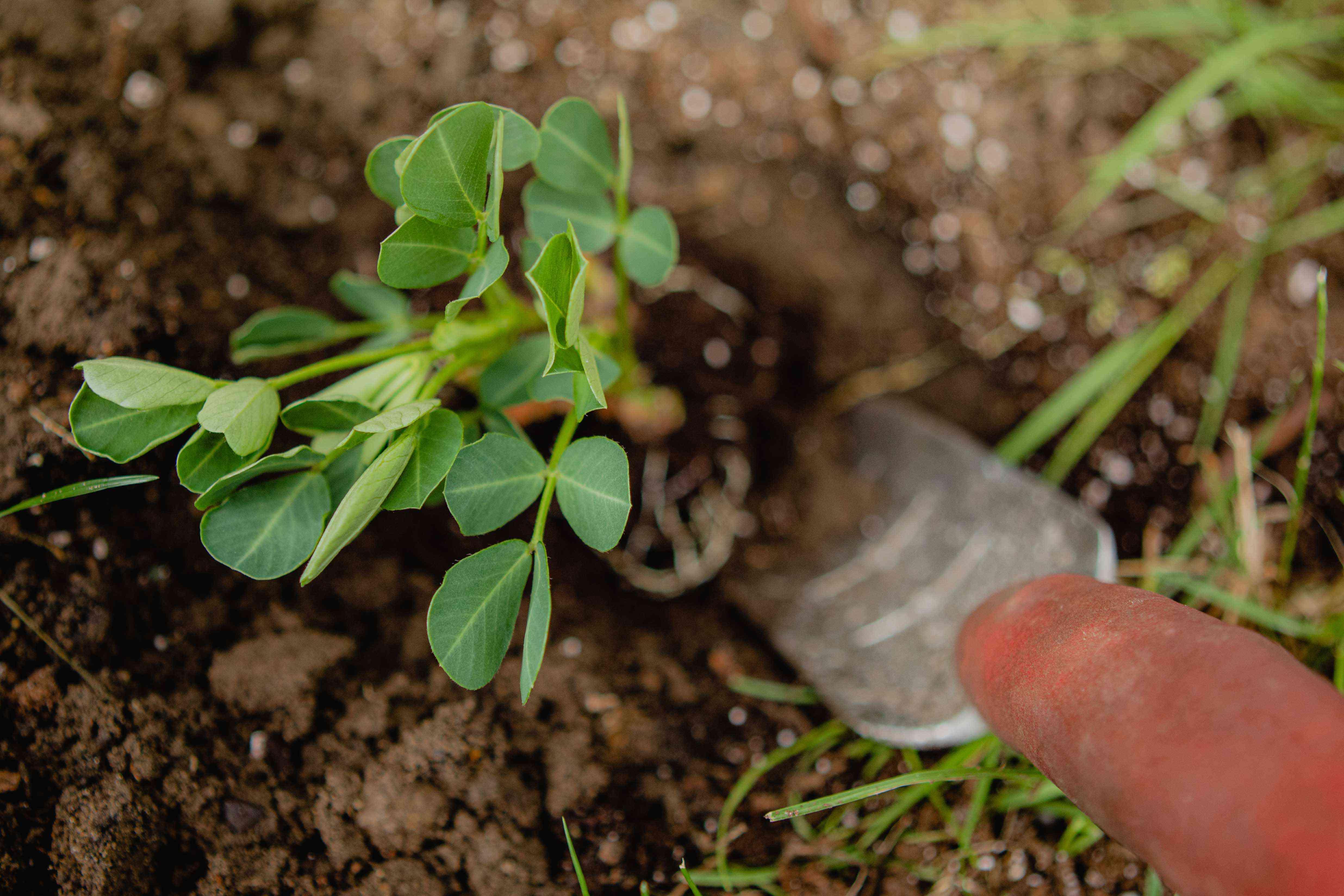 small peanut starter plant in ground next to garden trowel