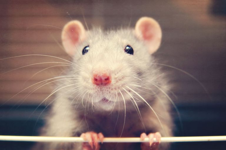 Rat closeup