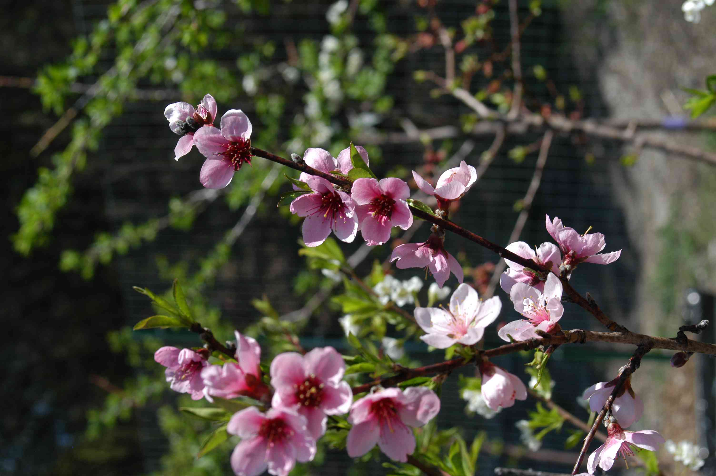 fruit tree blossom flowers