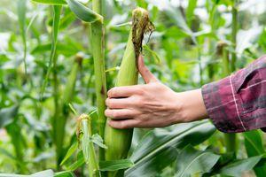 hand in cornfield grabs ear of corn from stalk
