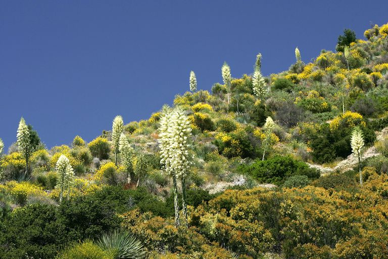 Chaparral, a very diverse plant community in coastal California.