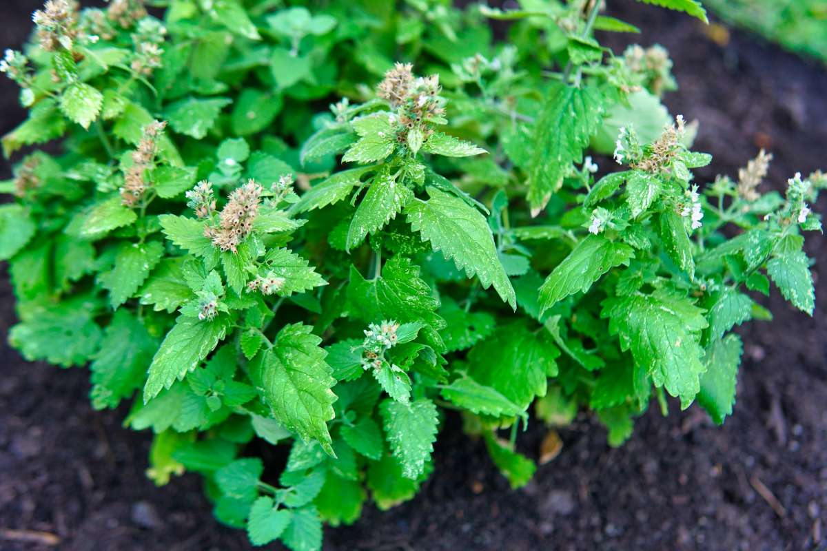 close shot of green catnip herb with flowers