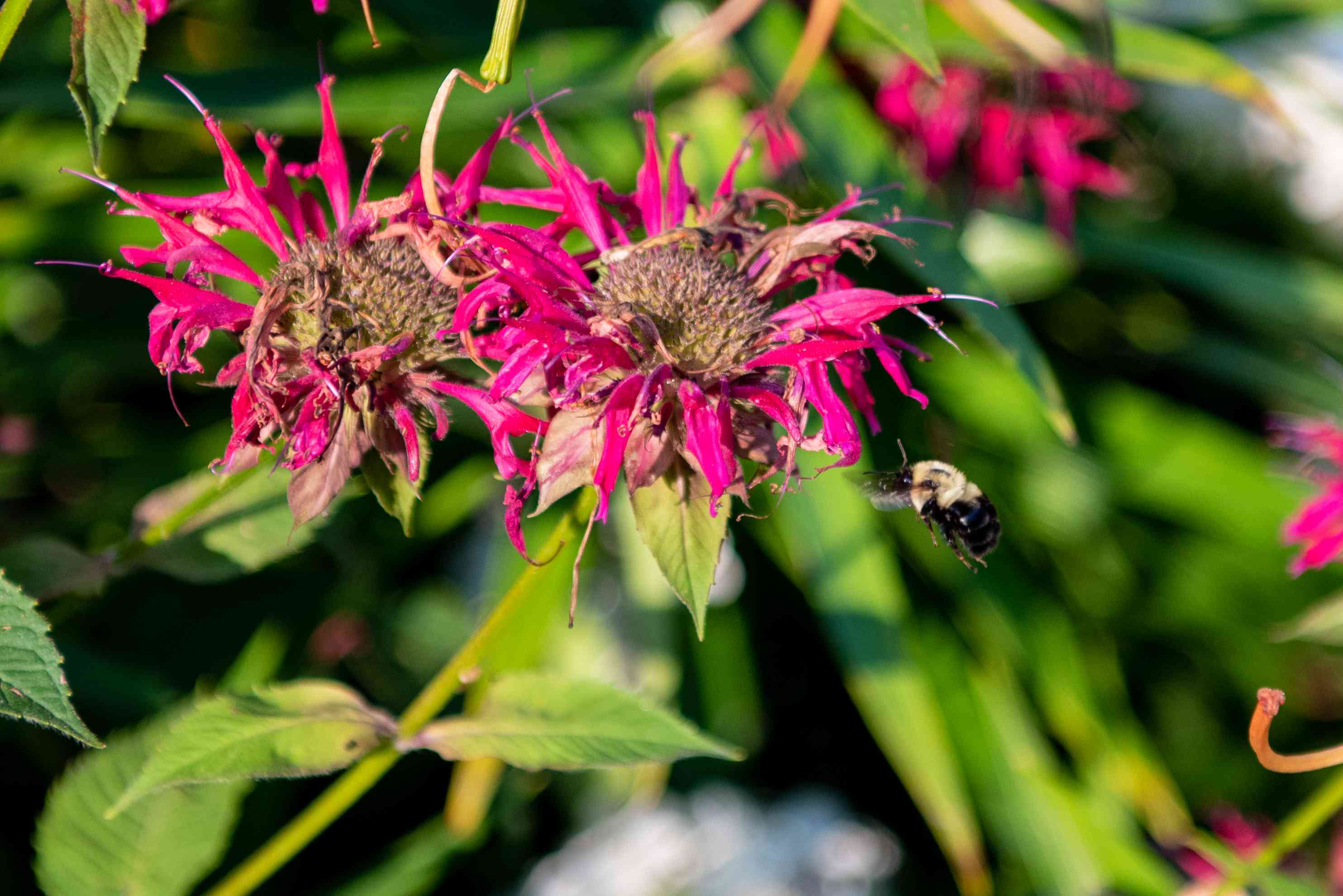 close-up shot of pink flowers with fuzzy bumblebee hovering nearby