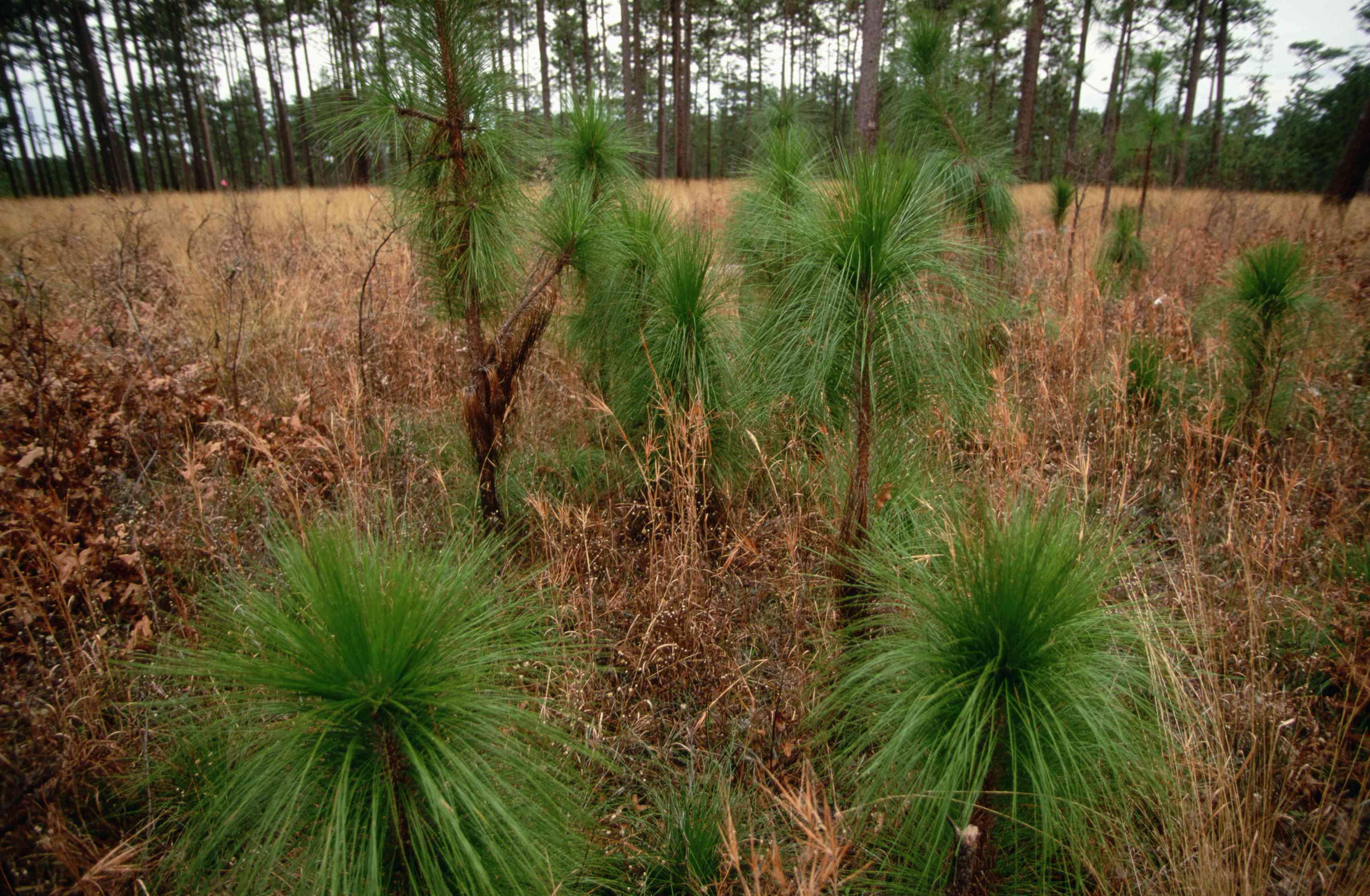 Longleaf Pine and Seedlings