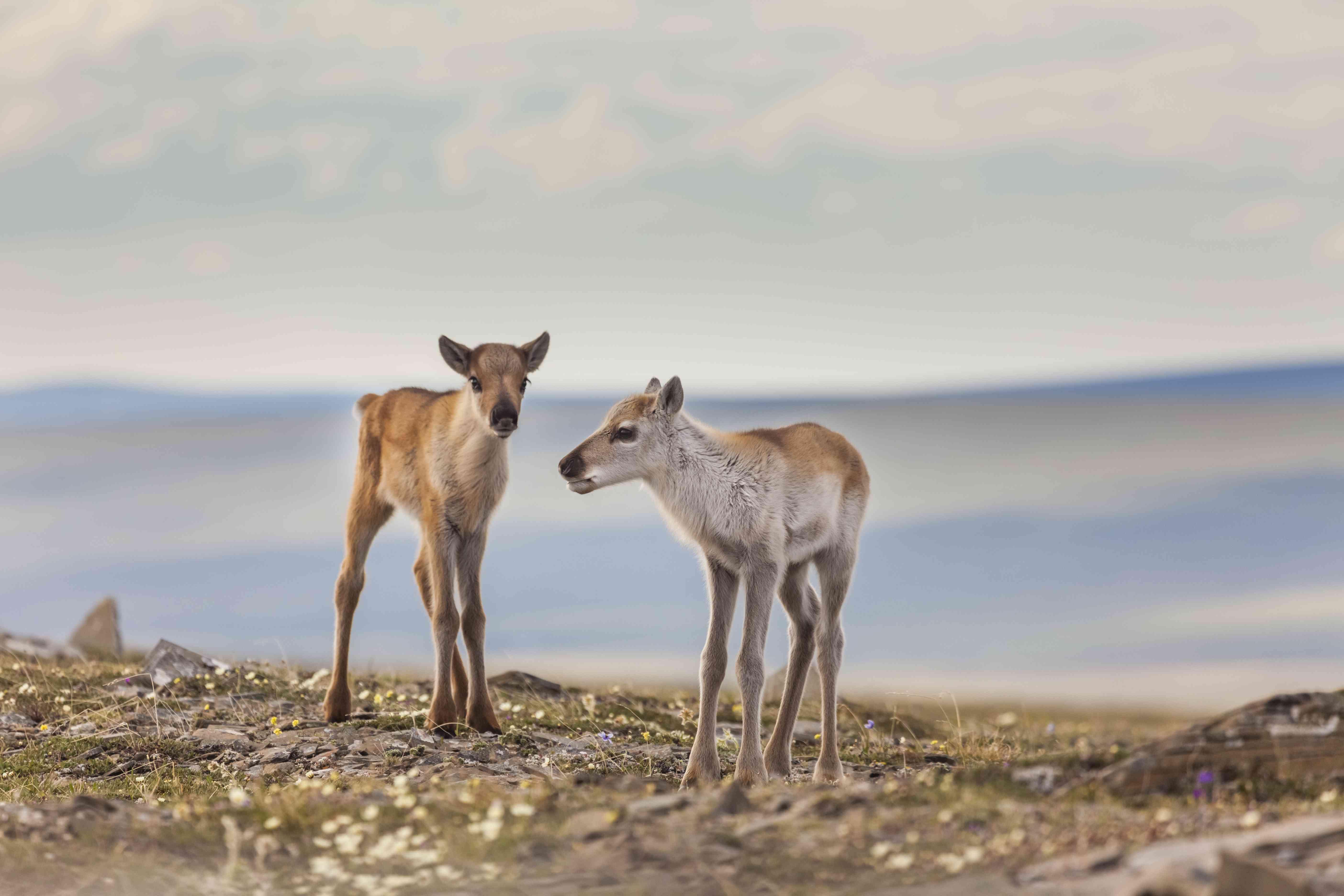 Baby caribou calf