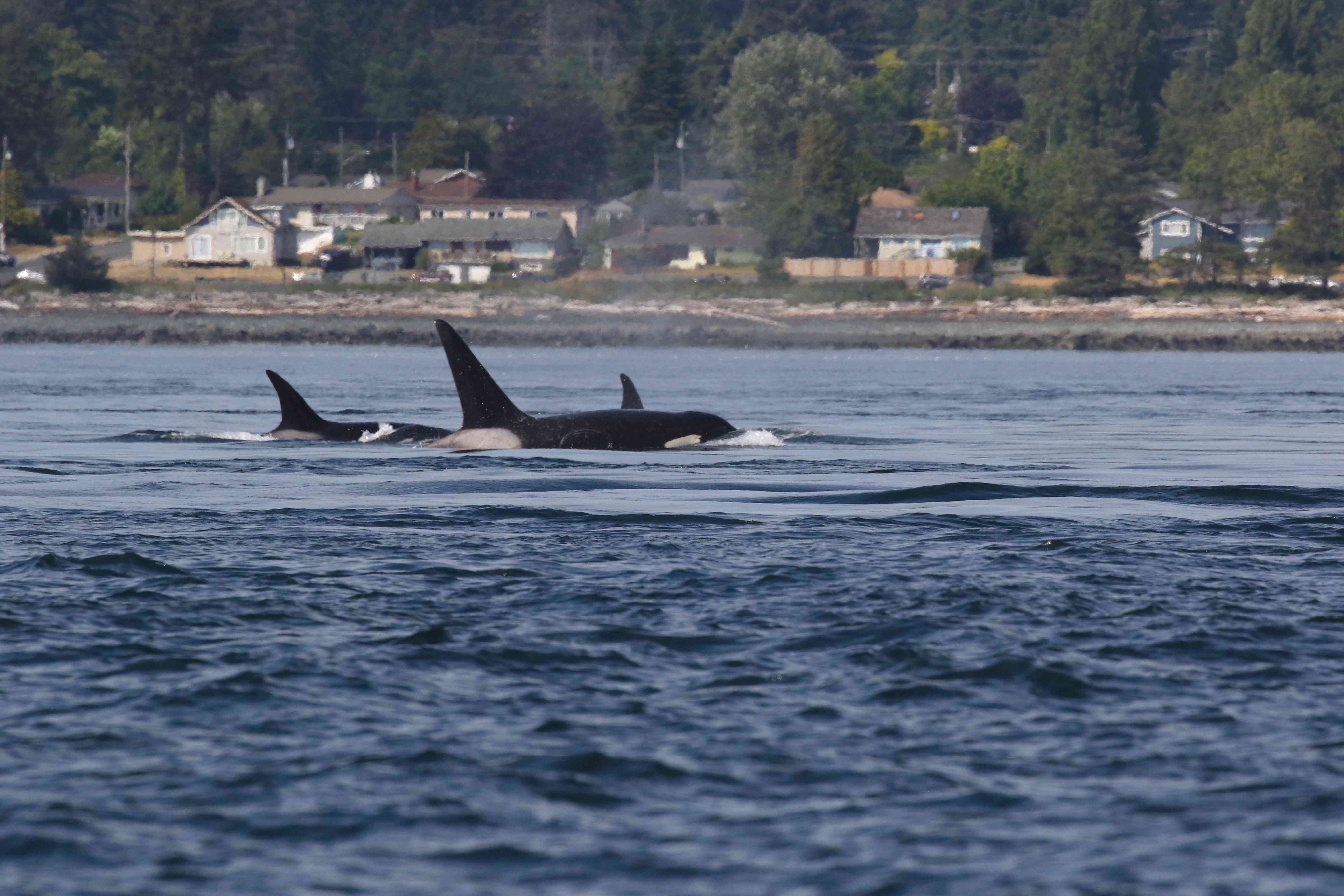 orcas, aka killer whales, in a freshwater river