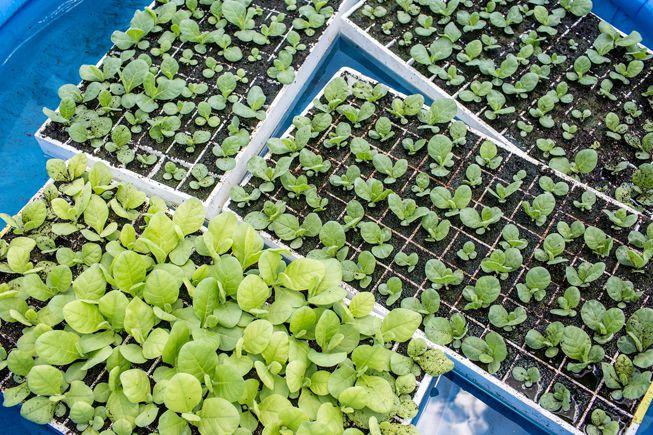 Tobacco seedlings in planters