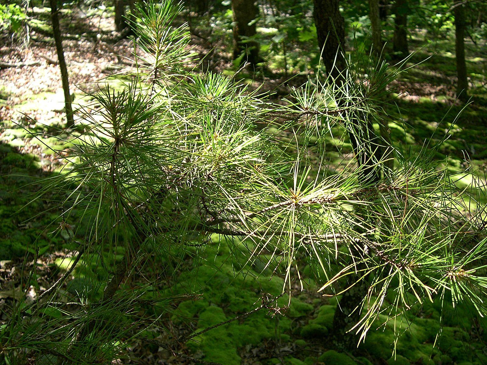 Shortleaf pine sapling