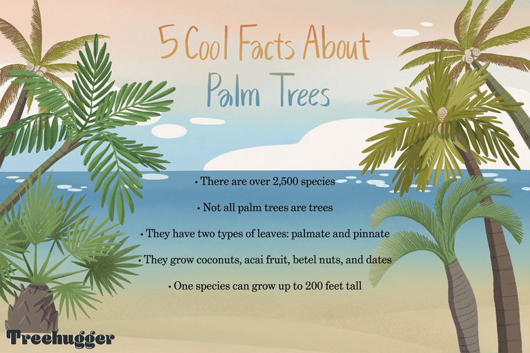 5 facts about palm trees illustration