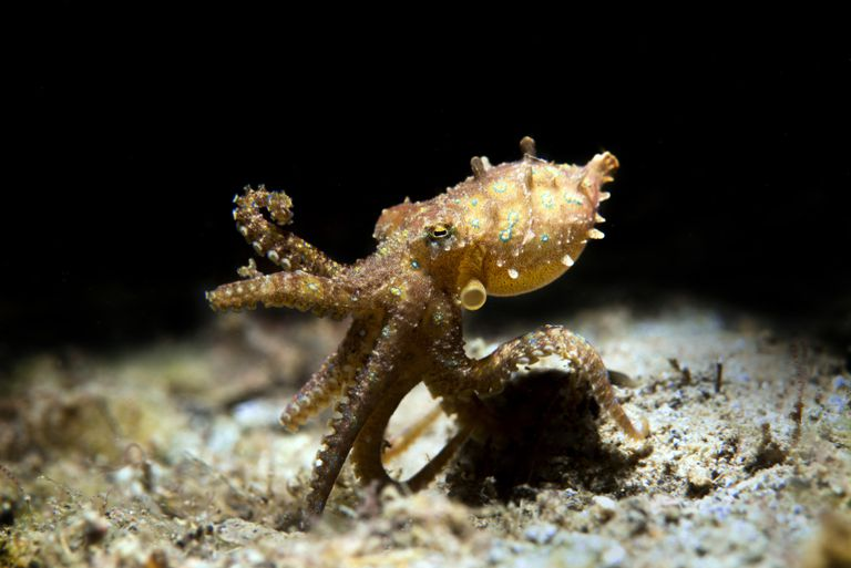 Blue-ringed octopus walking on the sea floor