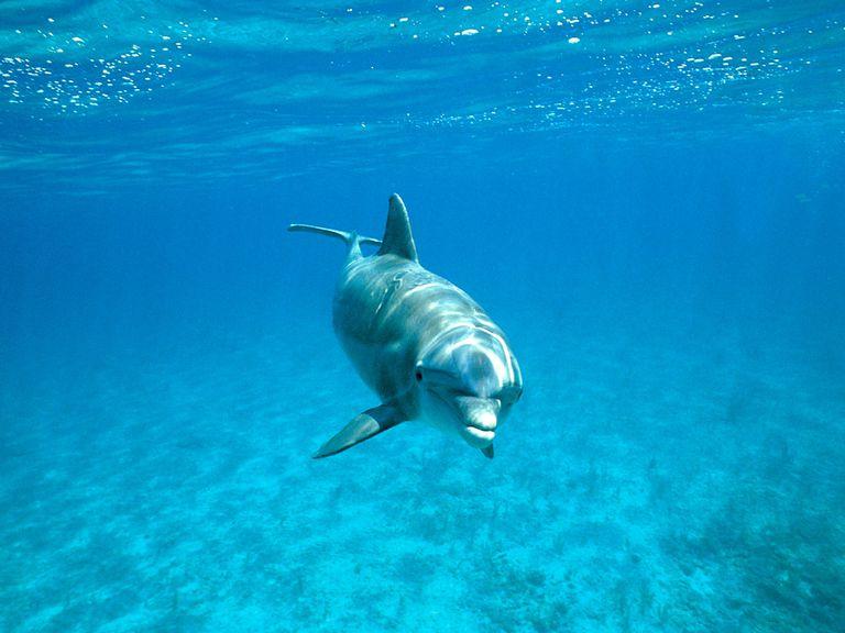Los delfines pueden llamarse unos a otros por su nombre