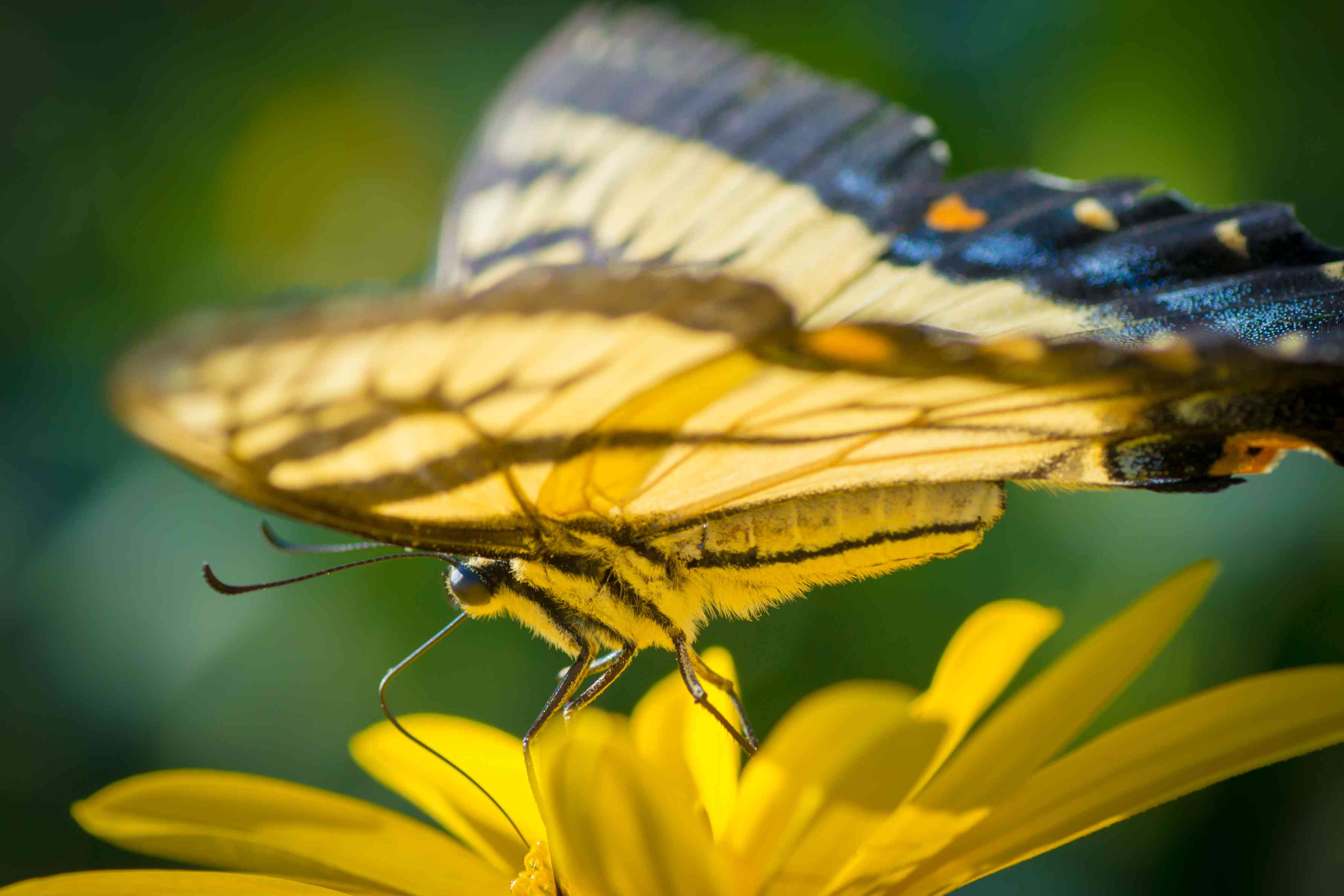 eastern tiger swallowtail butterfly, Papilio glaucus, in Ohio