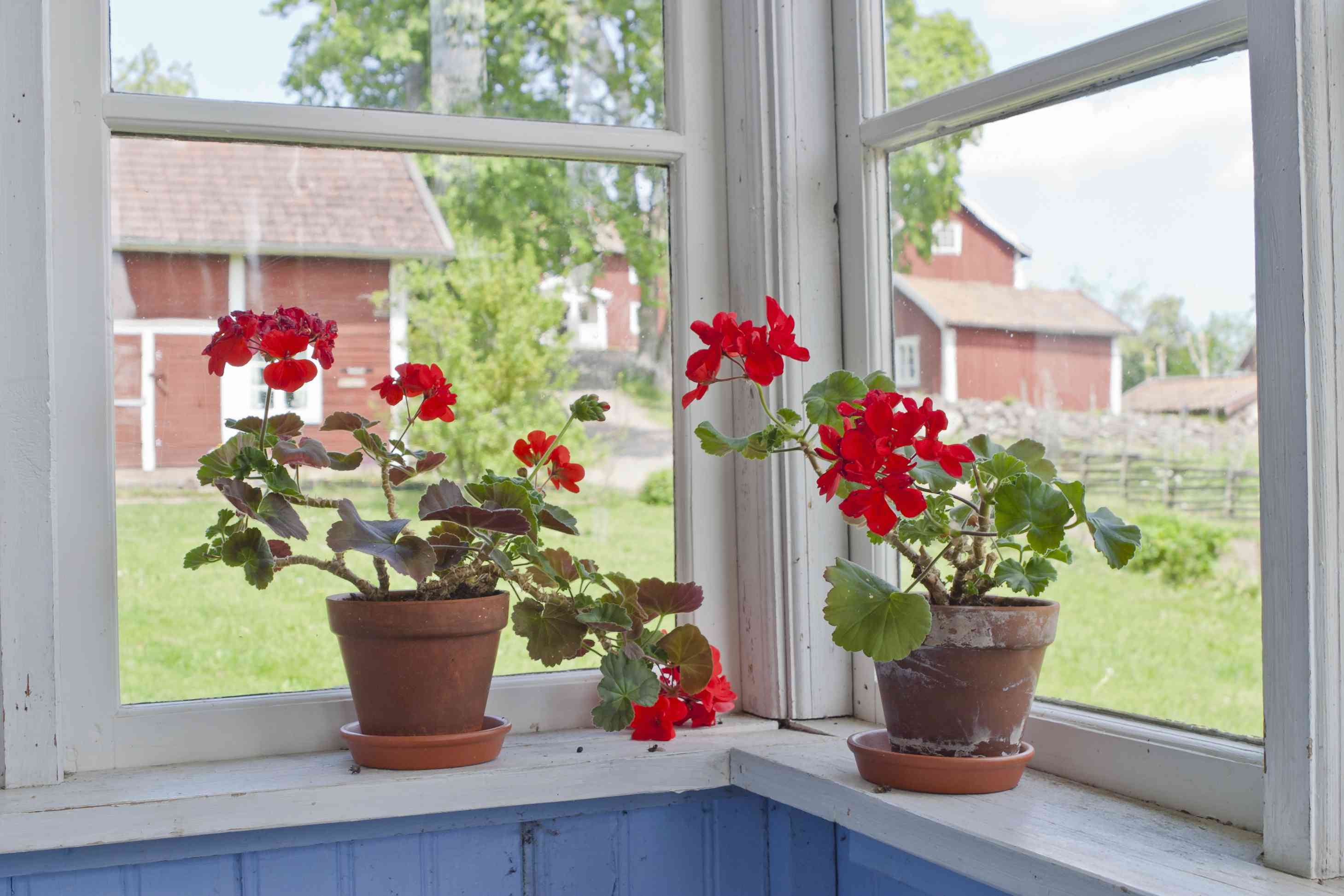 Potted red geraniums on windowsill