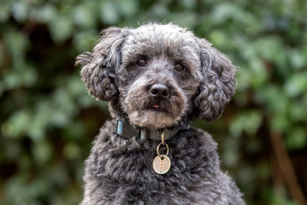 A schnoodle is a cross between a schnauzer and a poodle.