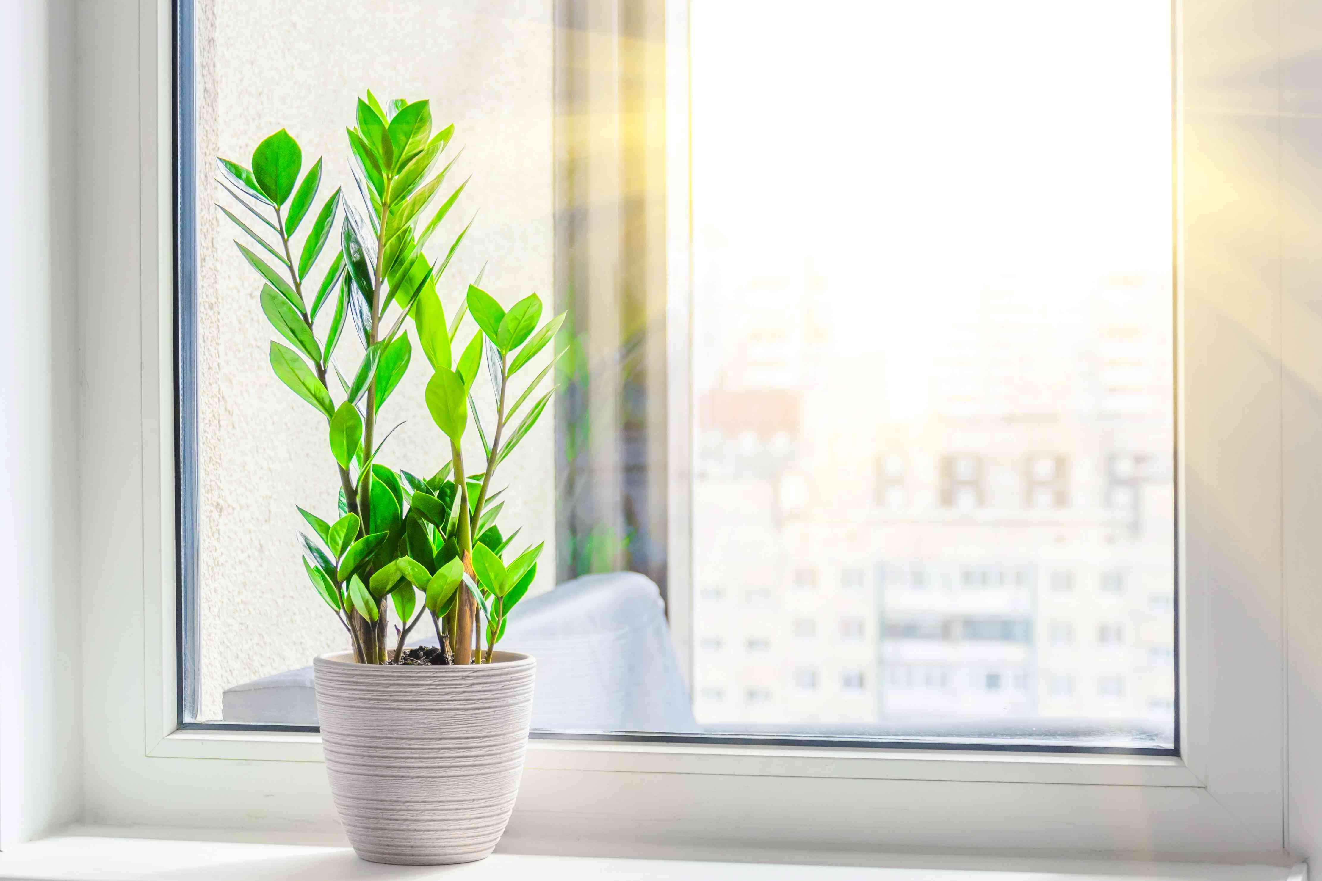 ZZ plant on a sunshiny windowsill