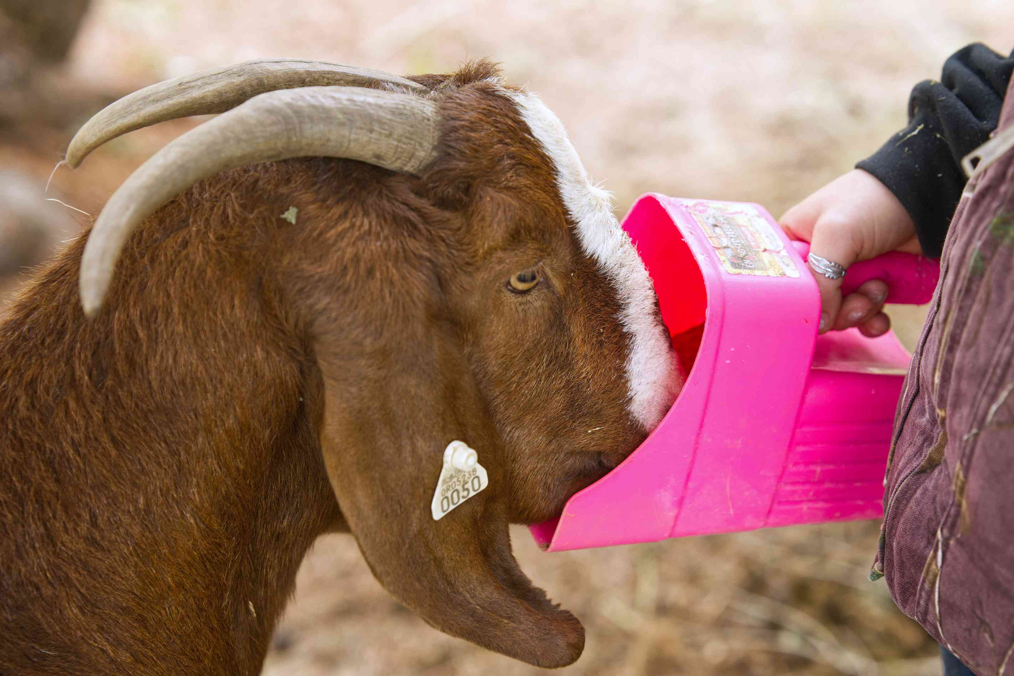 horned brown goat sticks face in pink plastic feeder held by kid