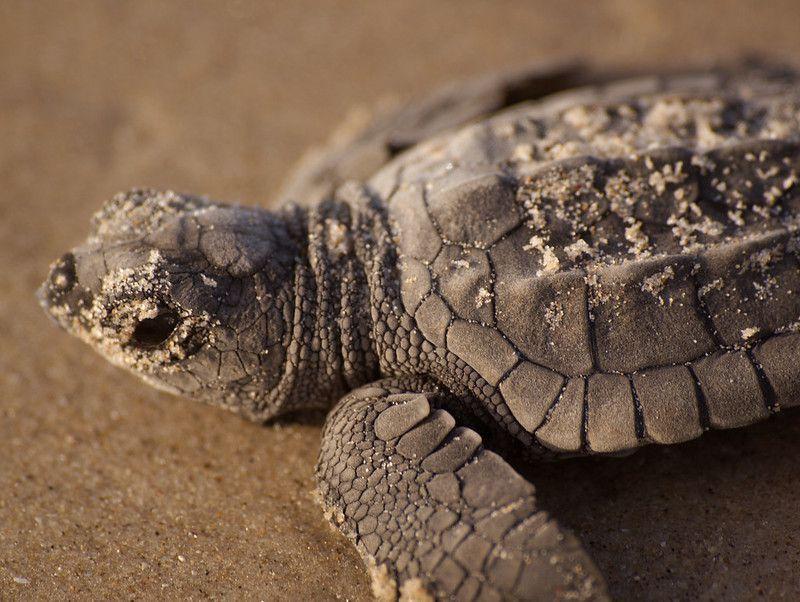 A Kemp's ridley turtle on a sandy beach.