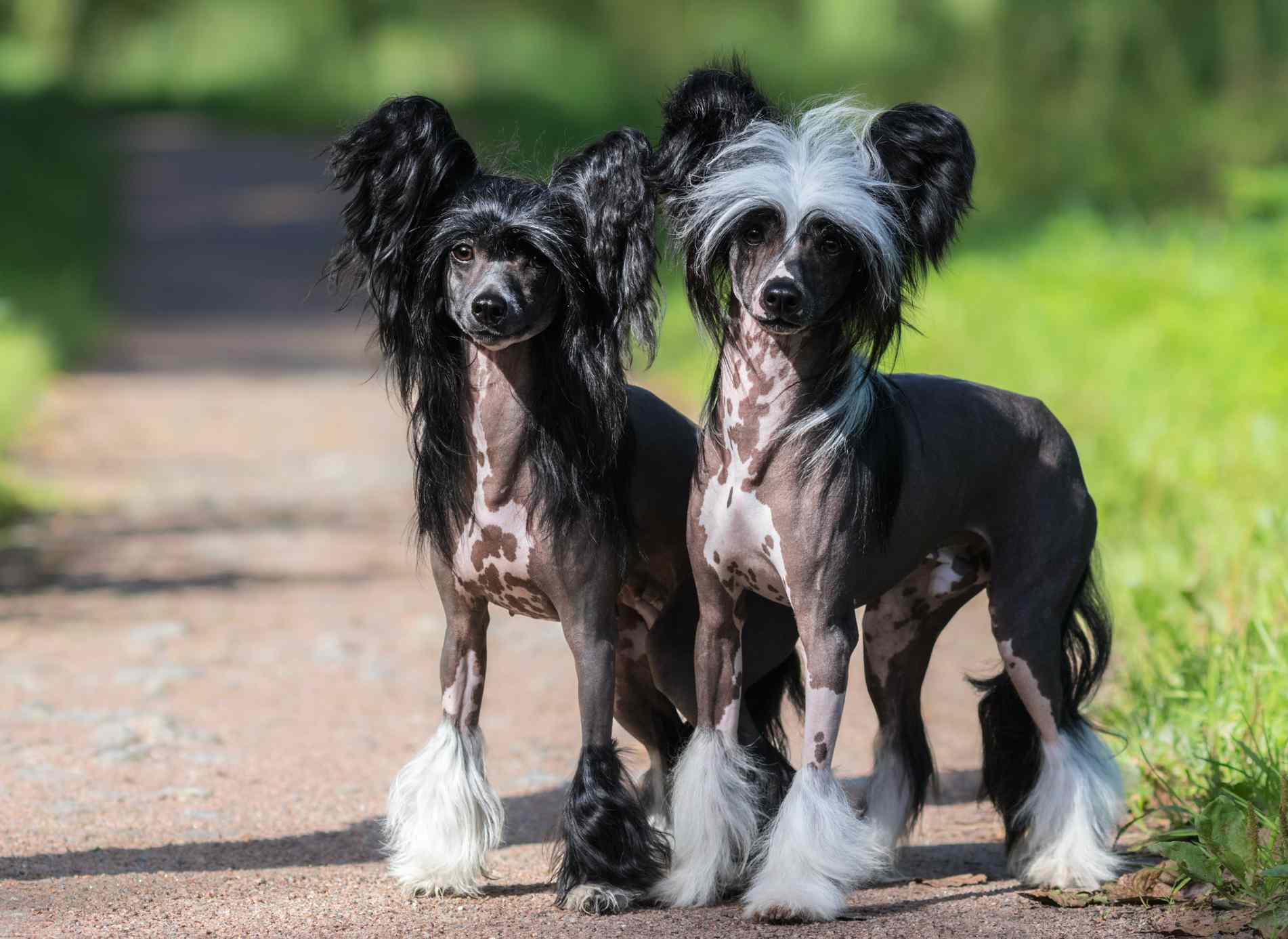 male and female Chinese crested dogs standing on a path surrounded by grass