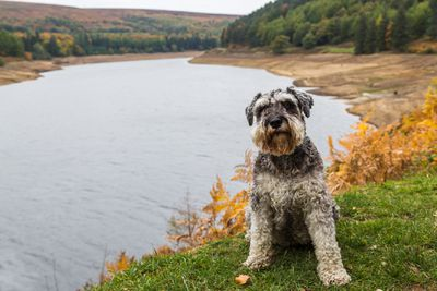 miniature schnauzer sitting on the bank of a river on green grass