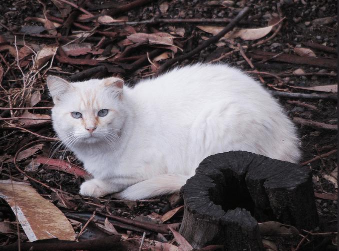 El continente australiano ahora está completamente cubierto de gatos salvajes