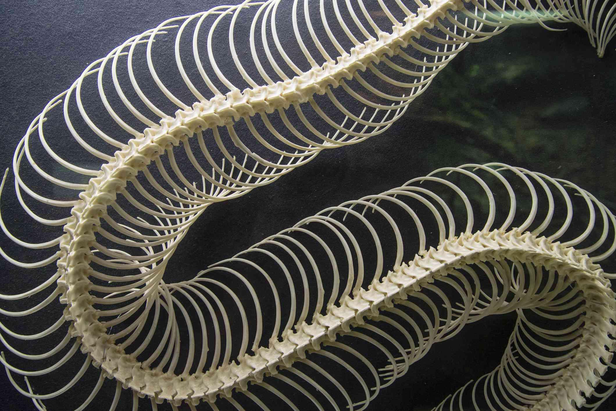 Gaboon Viper skeleton