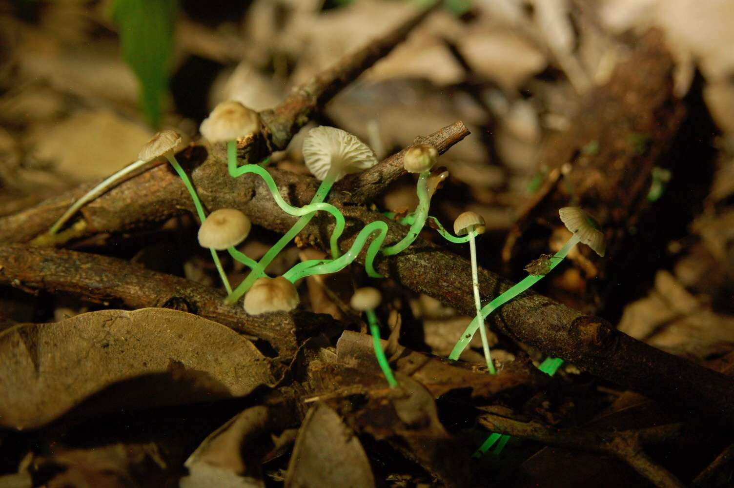 Mycena luxaeterna growing in leaf litter with stipes glowing green