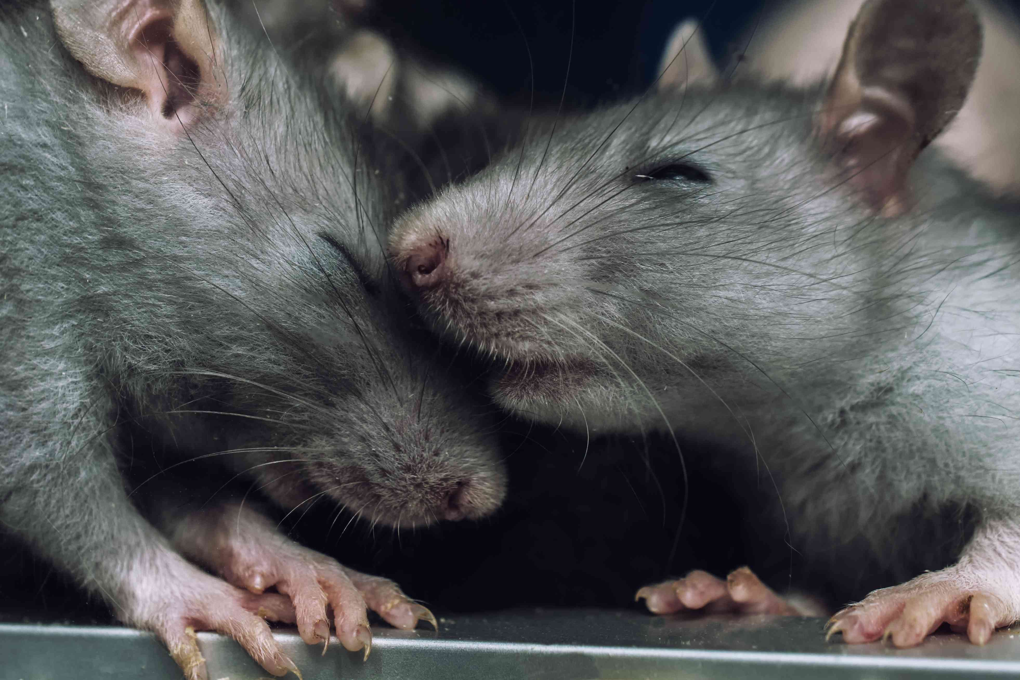 rats and social cooperation