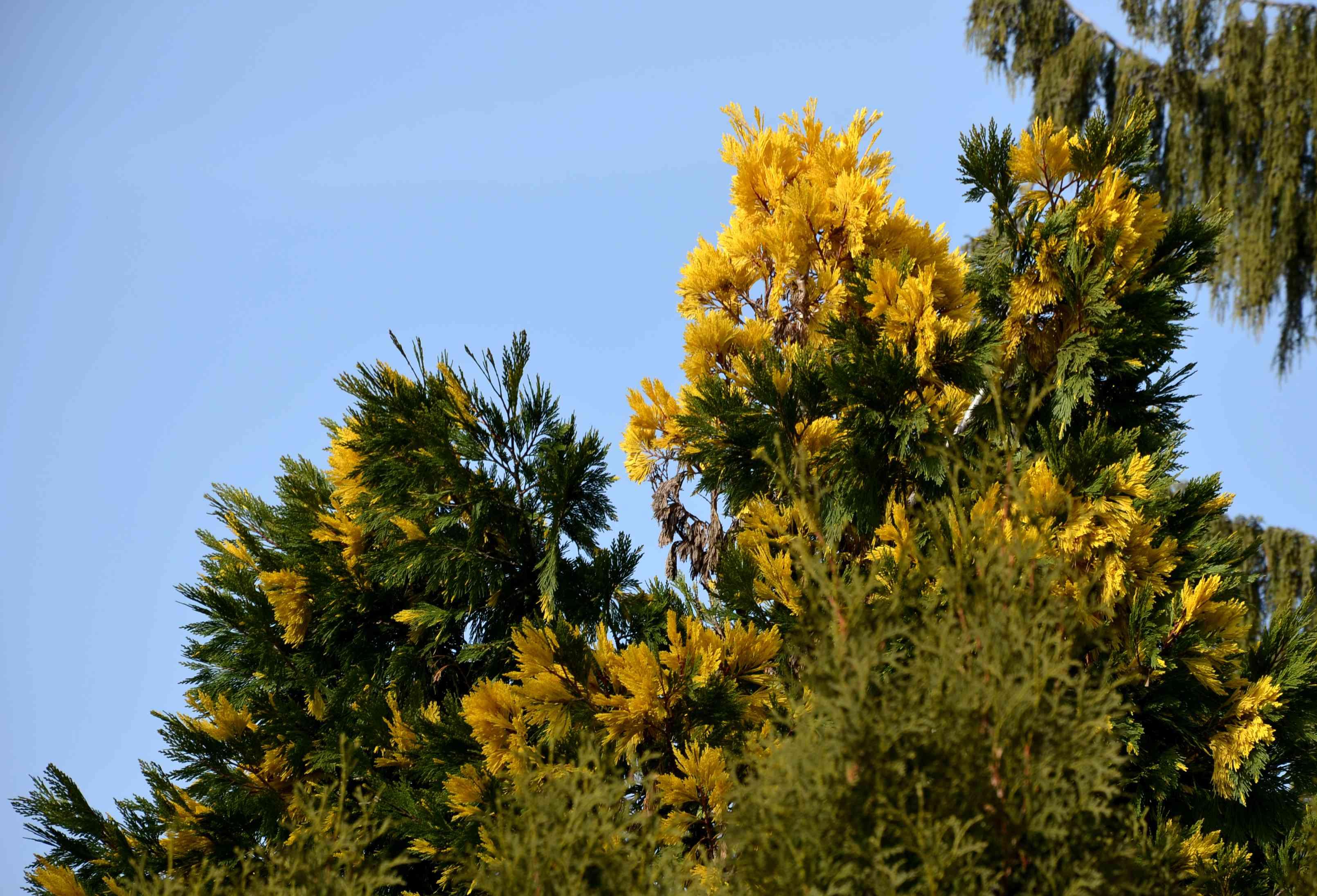 The golden arborvitae is an evergreen shrub