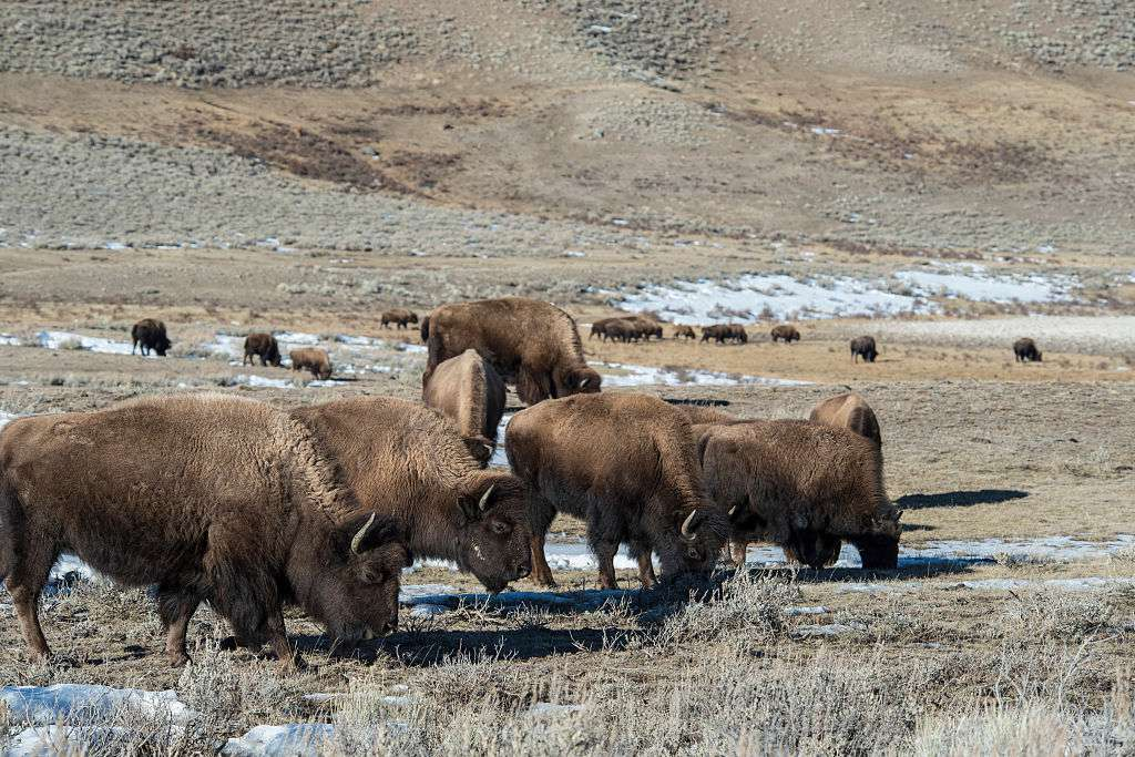 A herd of bison in Yellowstone National Park.