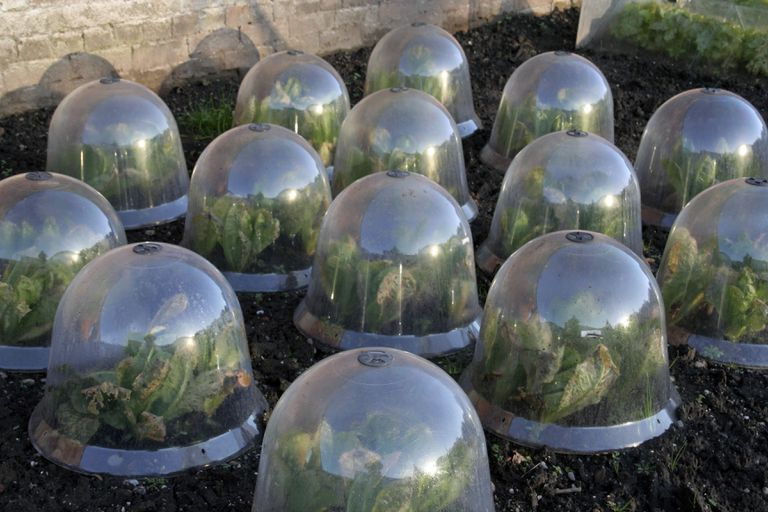 Glass garden cloches protecting cabbage from frost