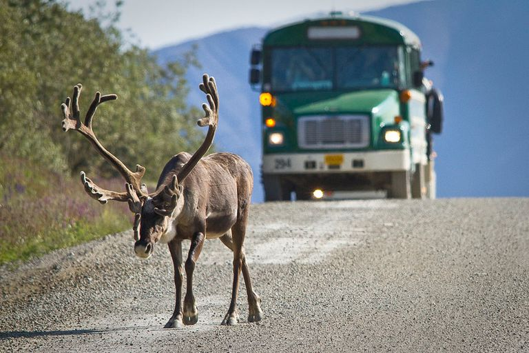 A bus behind a moose in Denali National Park