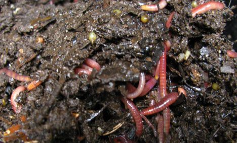 No Dig Worms photo