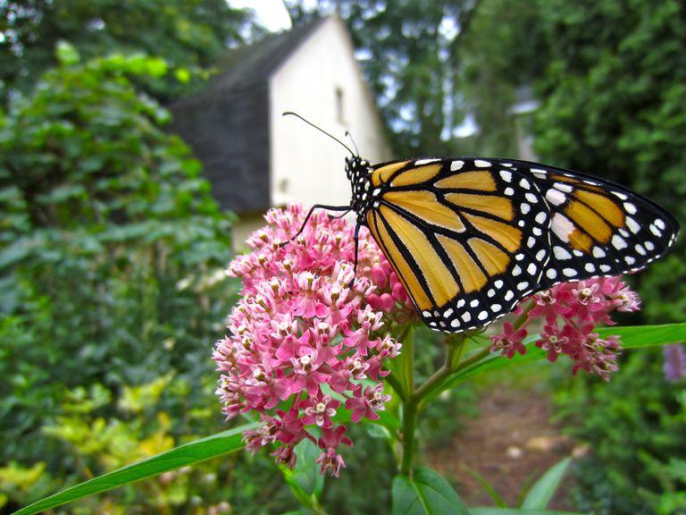 ¿Es el algodoncillo realmente la clave para salvar a las mariposas monarcas?