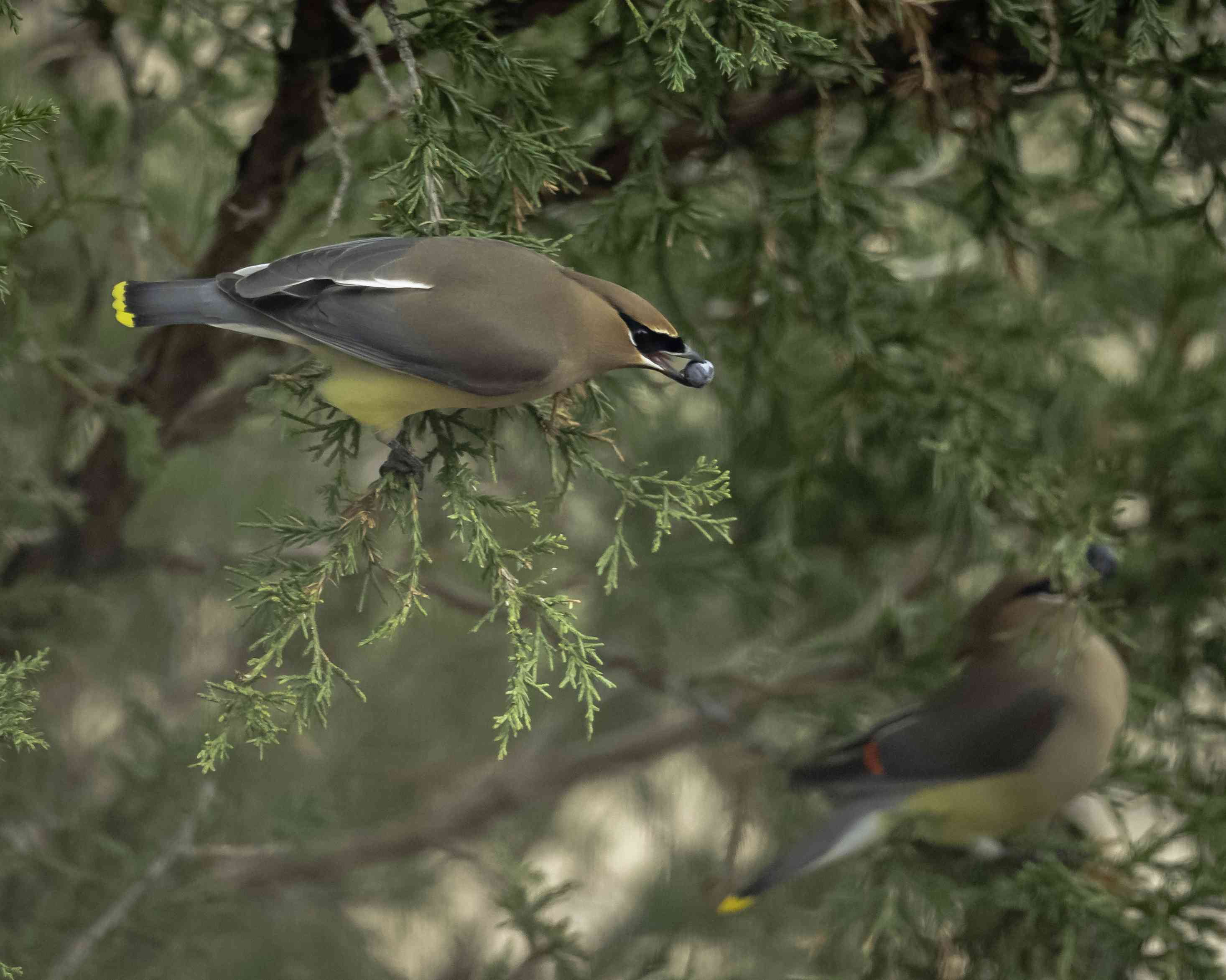 Two brown and yellow birds eating juniper berries.