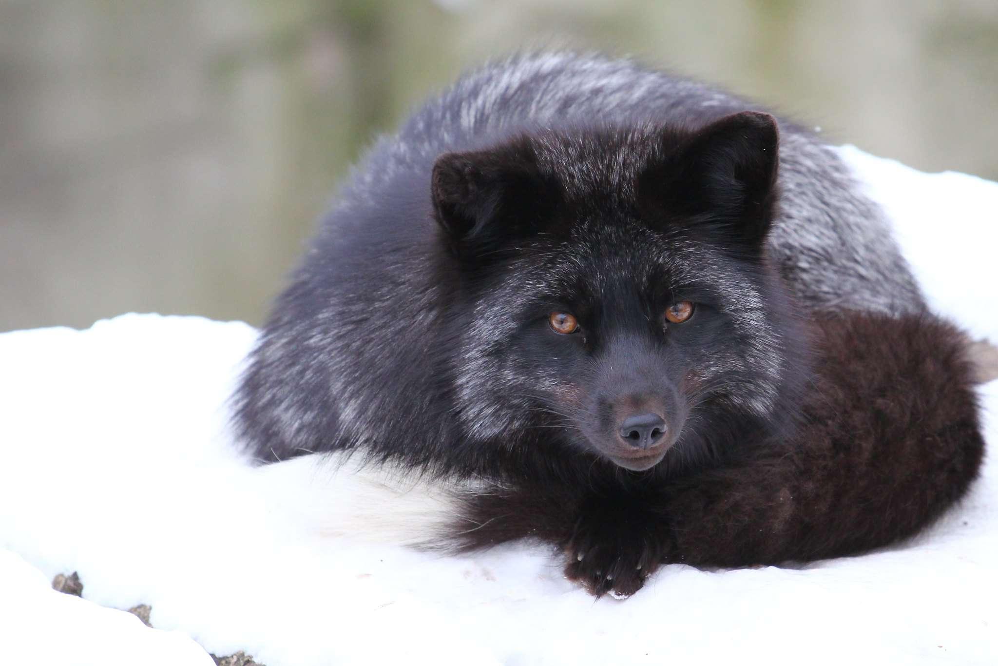 silver fox lying in snow