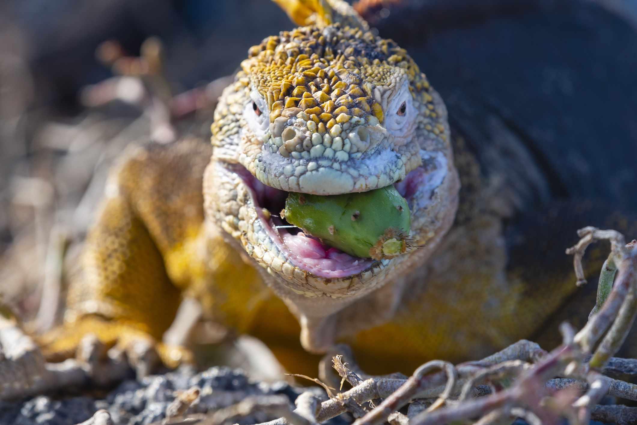 A yellow Galapagos land iguana eating a green cactus