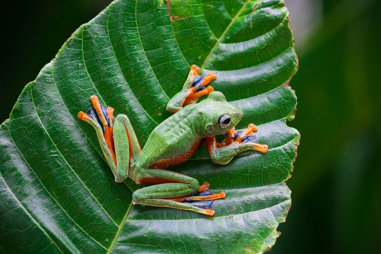 A green and orange colored Wallace's flying frog sits on a leaf.
