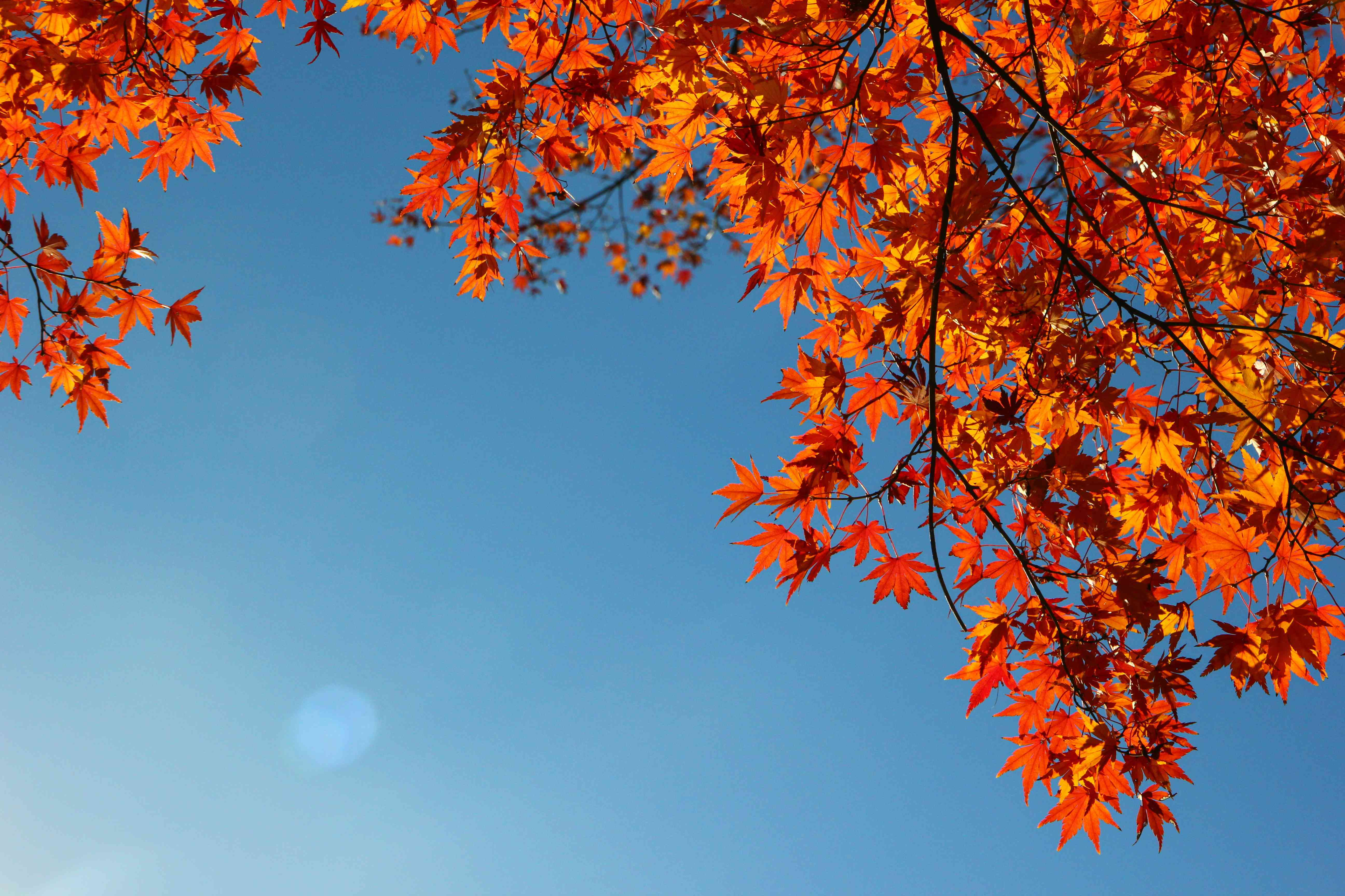 orange-red autumn leaves on tree silhouetted against brilliant blue sky